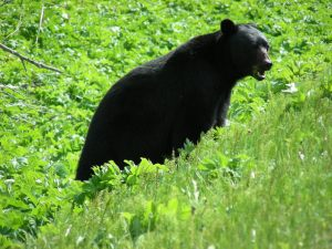 black bears and grizzlies' north and south mountain habitat are connected by the valley