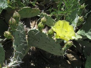 endangered prickly pear cactus